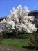 magnolia-din-iasi