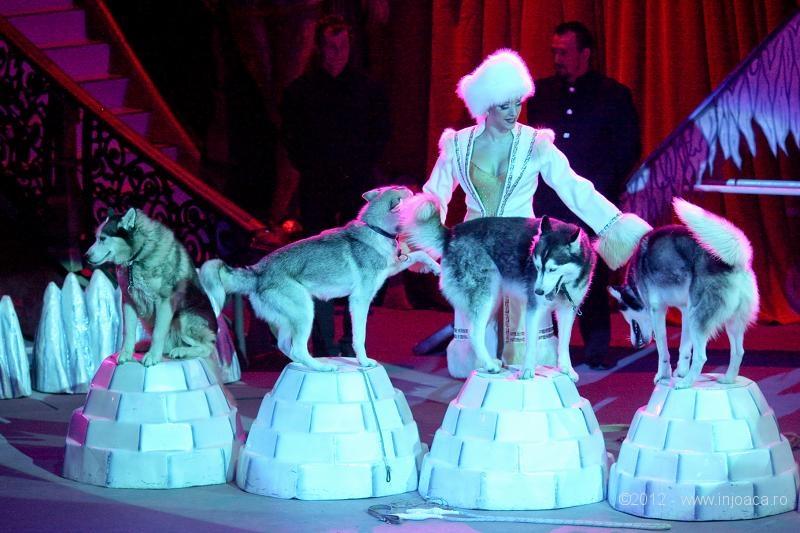 Husky familiei Saabel